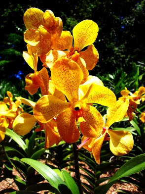 wpcwm Orchid